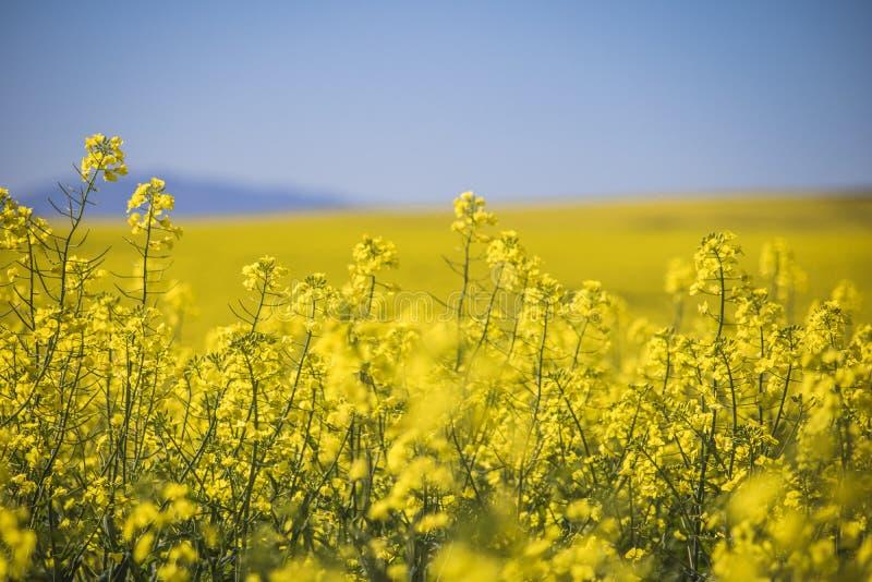 Piękni toczni wzgórza Canola kwitną w wiośnie Caledon, Zachodni przylądek, Południowa Afryka obraz royalty free