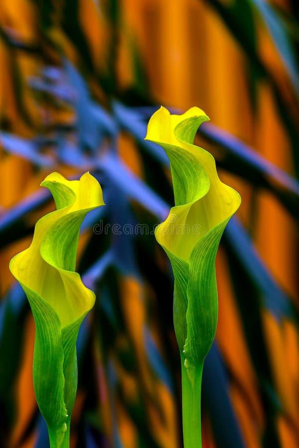 Piękni tropikalni żółci kalii lillies zdjęcie stock