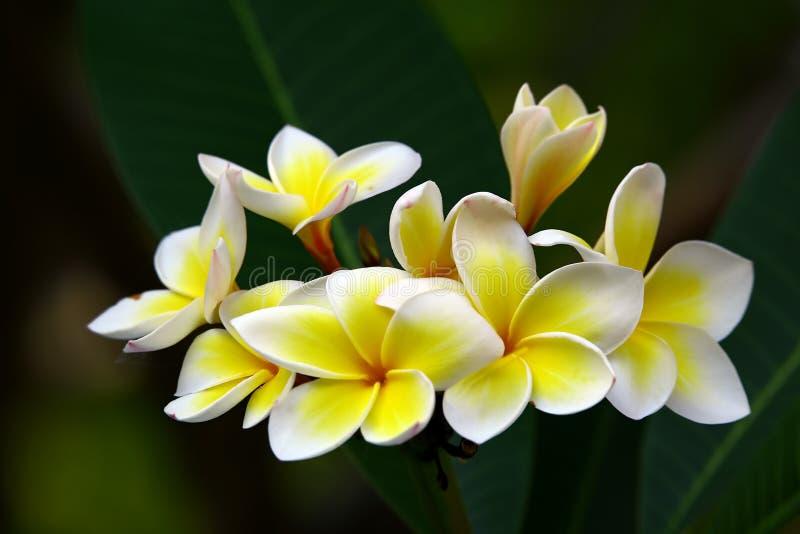 Piękni tropikalni plumeria lub frangipani kwiaty zdjęcia stock