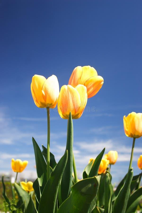 piękni tulipany zdjęcie royalty free