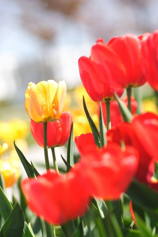 piękni tulipany obraz royalty free