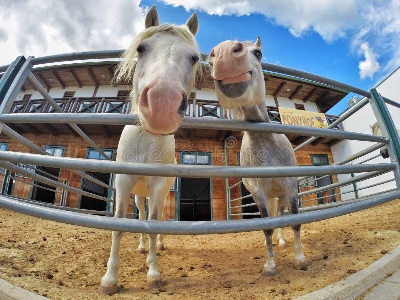 Piękni uśmiechnięci konie zdjęcie royalty free