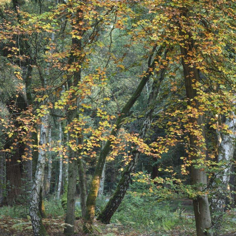 Piękni wibrujący jesień spadku drzewa w spadku kolorze w Nowym lesie w Anglia z oszałamiająco światłem słonecznym robi kolorom st obraz royalty free