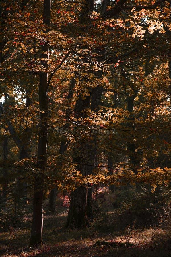 Piękni wibrujący jesień spadku drzewa w spadku kolorze w Nowym lesie w Anglia z oszałamiająco światłem słonecznym robi kolorom st obrazy stock