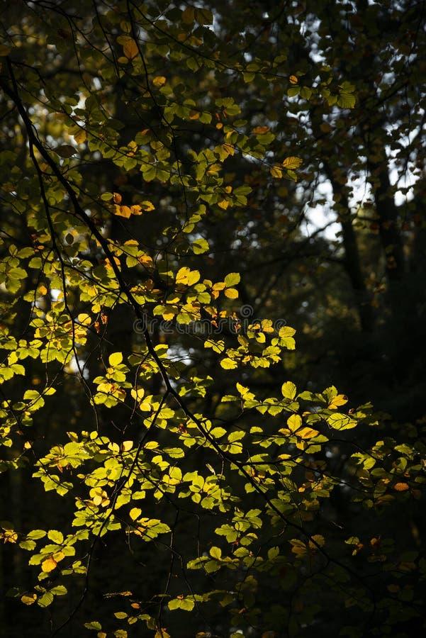 Piękni wibrujący jesień spadku drzewa w spadku kolorze w Nowym lesie w Anglia z oszałamiająco światłem słonecznym robi kolorom st obrazy royalty free
