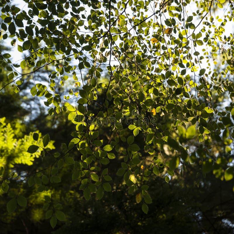 Piękni wibrujący jesień spadku drzewa w spadku kolorze w Nowym lesie w Anglia z oszałamiająco światłem słonecznym robi kolorom st zdjęcia stock