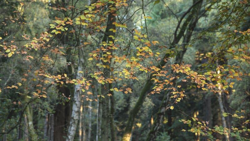 Piękni wibrujący jesień spadku drzewa w spadku kolorze w Nowym lesie w Anglia z oszałamiająco światłem słonecznym robi kolorom st zdjęcie royalty free
