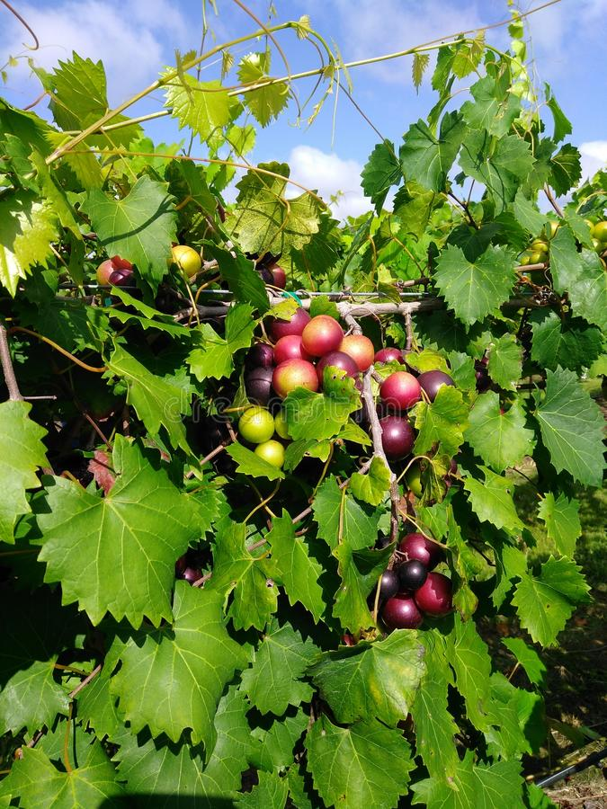 Piękni winogrona od NC, obraz stock