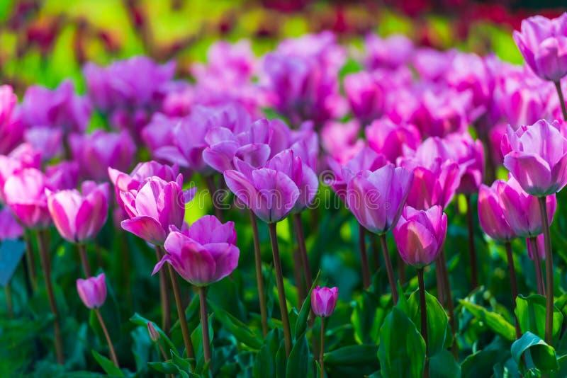 Piękni wiosna kwiaty w Keukenhof ogródzie, Holandia zdjęcia stock