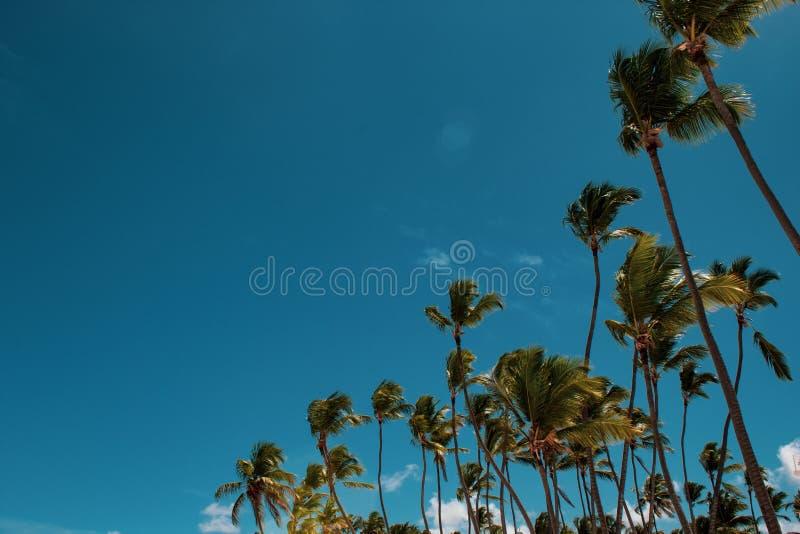 Piękni, wysocy i nikli drzewka palmowe w Bavaro plaży, Punta Cana Urlopowy lub wakacyjny poj?cie obraz royalty free