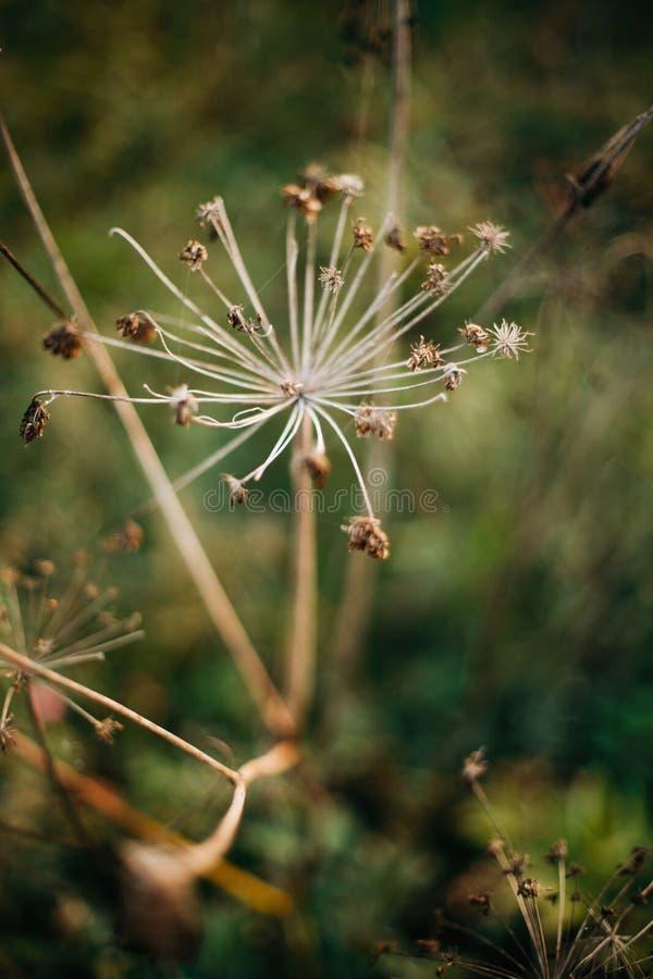 Piękni wysuszeni ziele, aegopodium podagraria lub arcydzięgiel, w pogodnej łące przy zmierzchem w górach Zbierający wysuszonych w fotografia stock