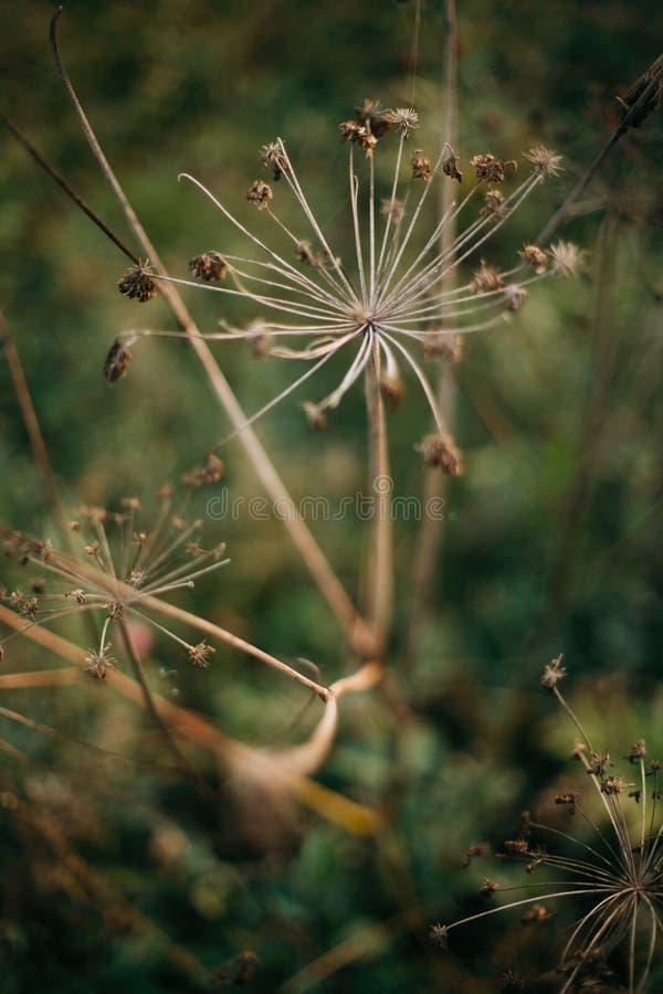 Piękni wysuszeni ziele, aegopodium podagraria lub arcydzięgiel, w pogodnej łące przy zmierzchem w górach Zbierający wysuszonych w zdjęcia stock
