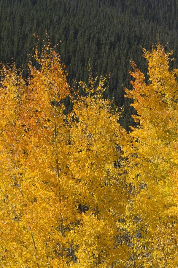 Piękni Złoci osika liście Przeciw Skalistej góry sosnom obraz stock