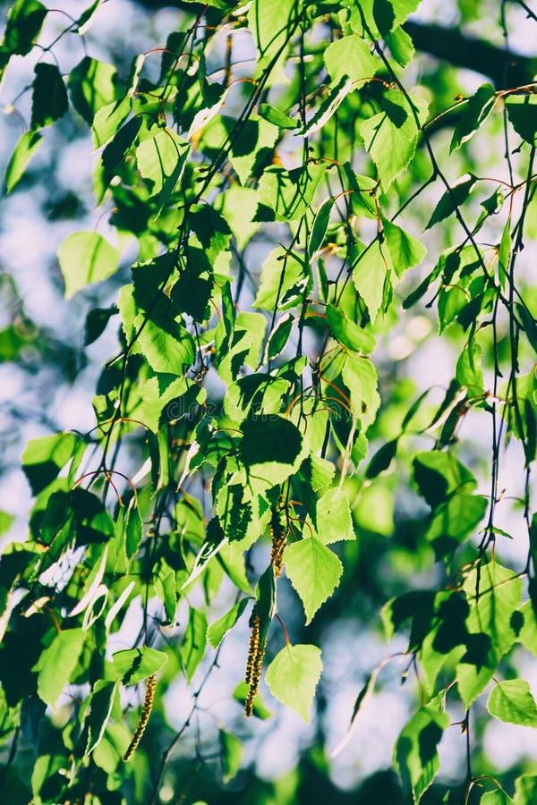 Piękni zieleni świezi liście na brzozy drzewie fotografia stock