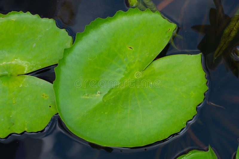 Piękni zieleni lotosów liście po deszczu fotografia royalty free
