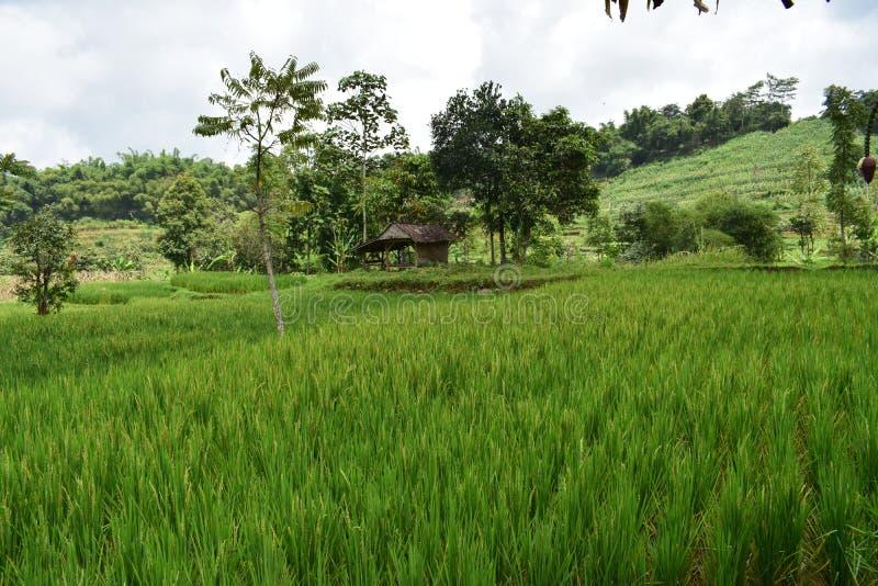 Piękni zieleni rass i zielona ryżowa roślina fotografia stock