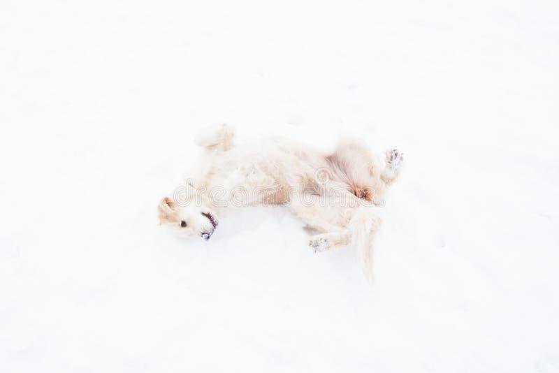 Piękni zwierzęta domowe - duży golden retriever ma zabawę na zima spacerze w śnieżystym parku obraz stock