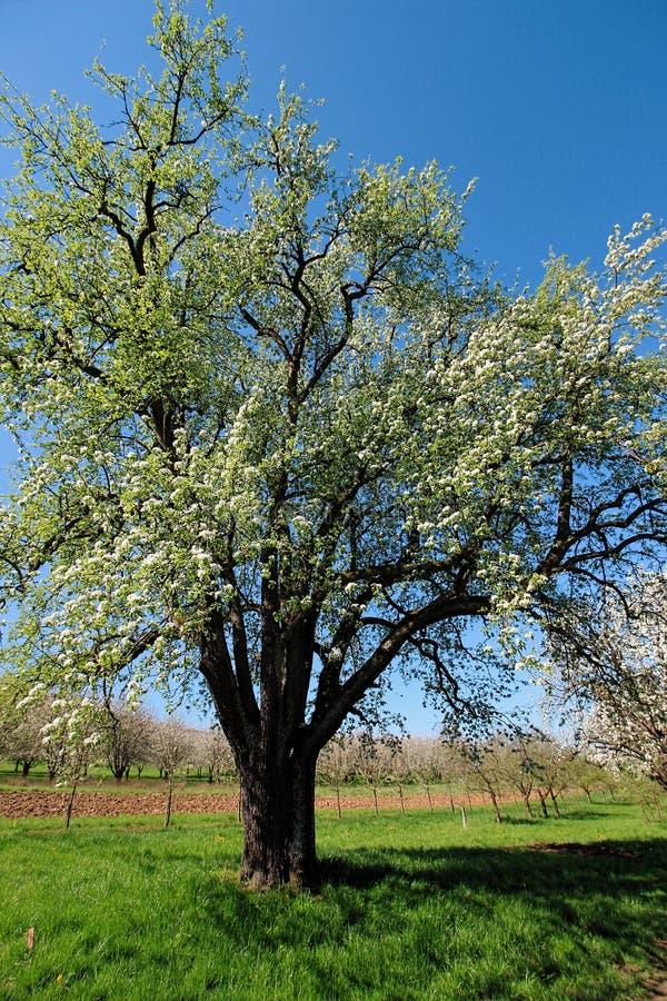 Pięknie kwitnąć drzewa na zielonej łące przy ciepłym światłem słonecznym w wiośnie, Niemcy obrazy stock