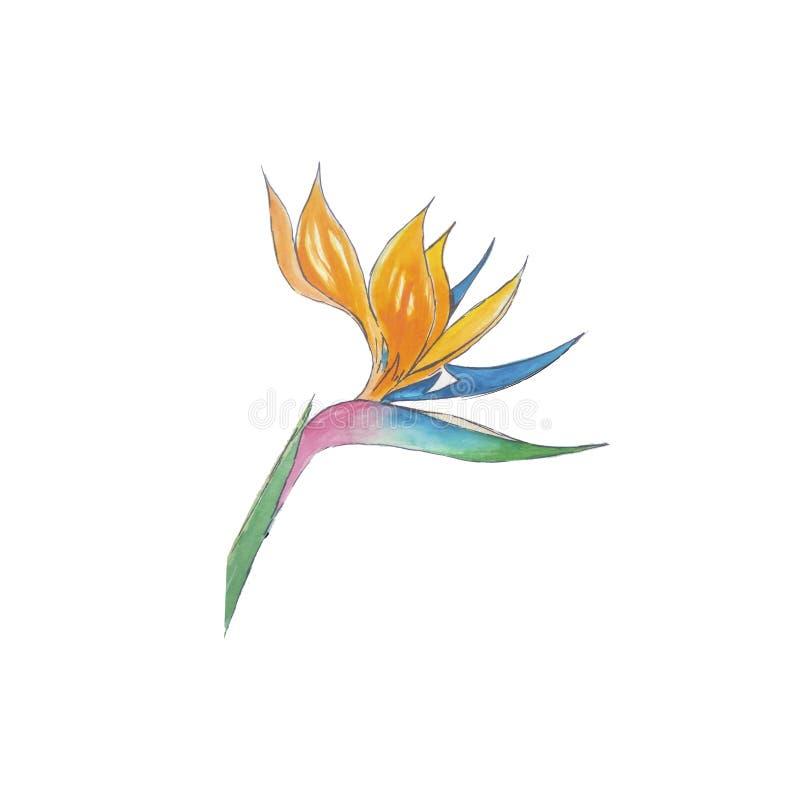 piękno akwareli raju kwiatów strelitzia obraz royalty free