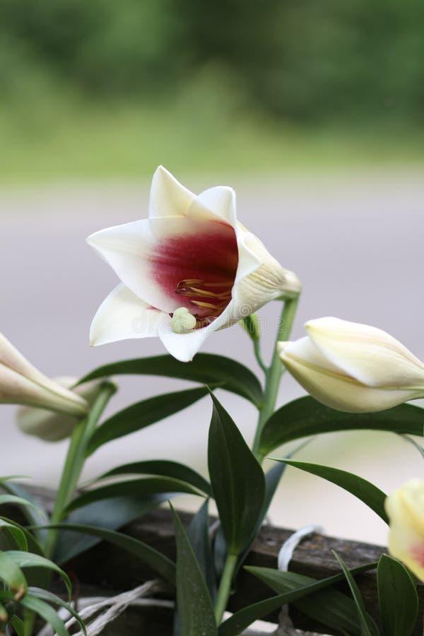 Piękno biel lilly kwiat lilly zdjęcie stock