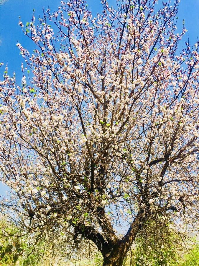 Piękno drzewo z białymi kwiatami w wiosna sezonie obraz stock