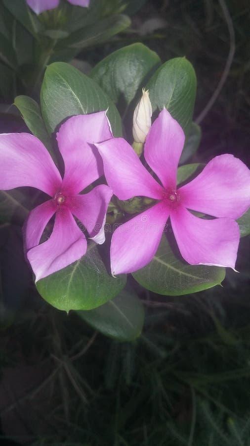 Piękno dwa mały kwiat w ogródzie obraz royalty free