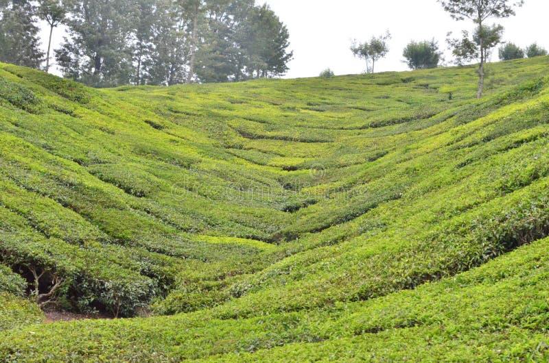 Piękno Herbaciany ogród - natura zdjęcie stock