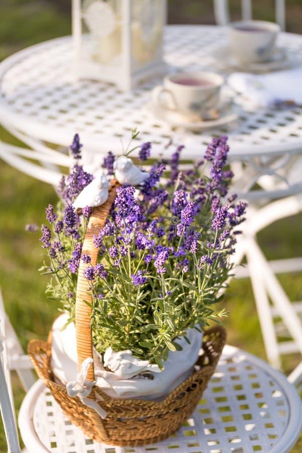 Piękno i świeża lawenda w kwiatu garnku zdjęcie royalty free