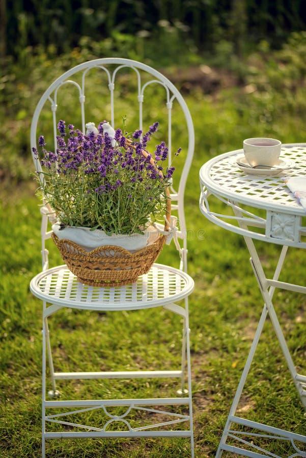 Piękno i świeża lawenda w kwiatu garnku zdjęcia royalty free