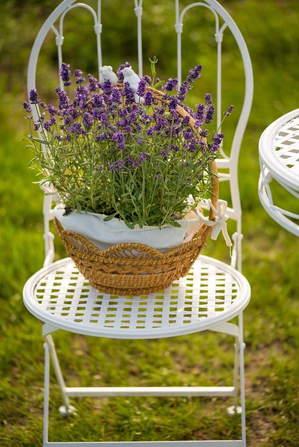 Piękno i świeża lawenda w kwiatu garnku obraz stock