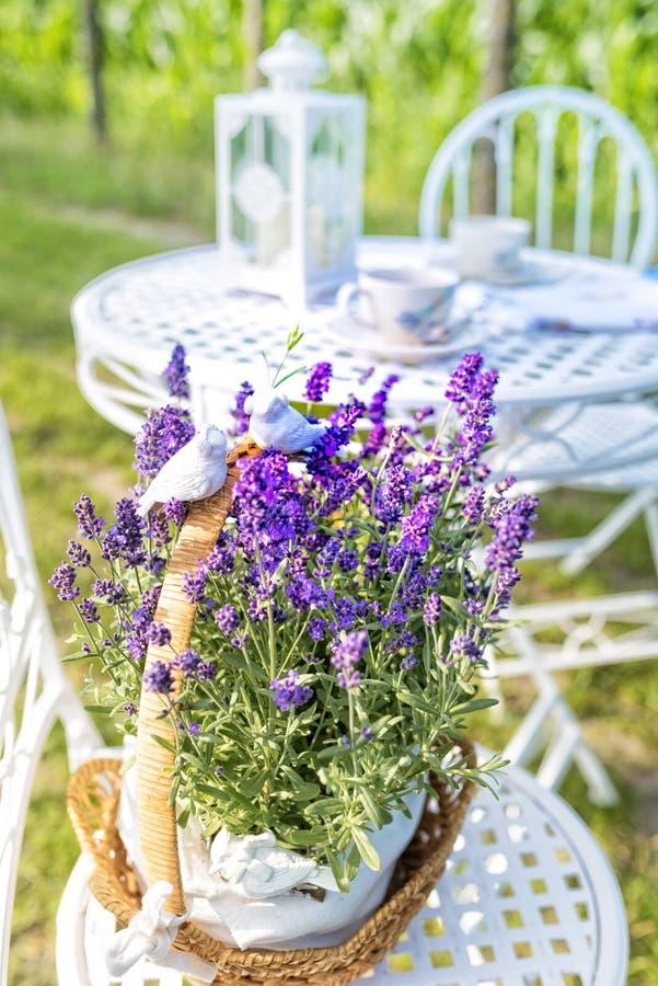 Piękno i świeża lawenda w kwiatu garnku zdjęcia stock