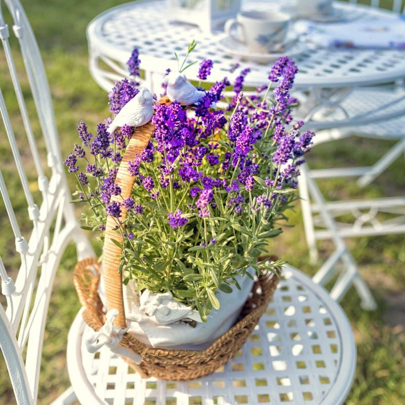 Piękno i świeża lawenda w kwiatu garnku zdjęcie stock