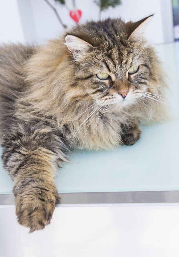 Piękno kot bydlę, siberian purebred Uroczy domowy zwierzę domowe wewnątrz relaksuje, brązowić kolor, obraz stock