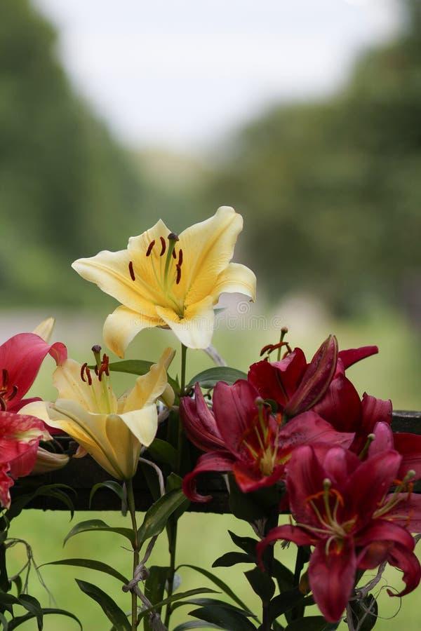 Piękno lilly kwiat lilly zdjęcie stock