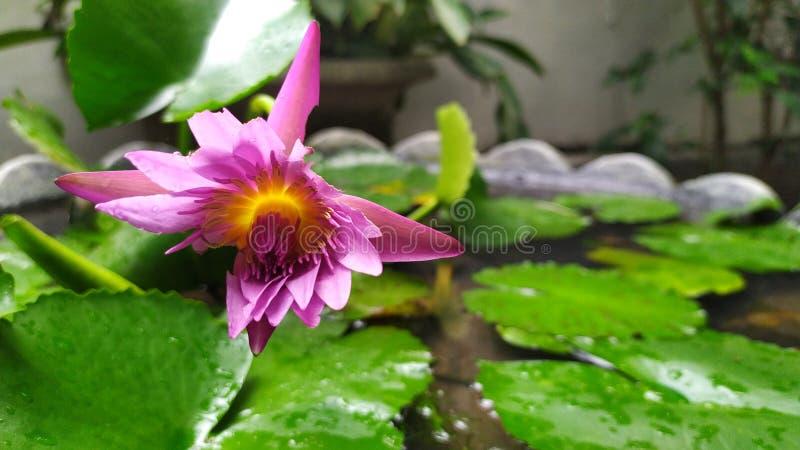 Pi?kno lotosowy kwiat obrazy royalty free