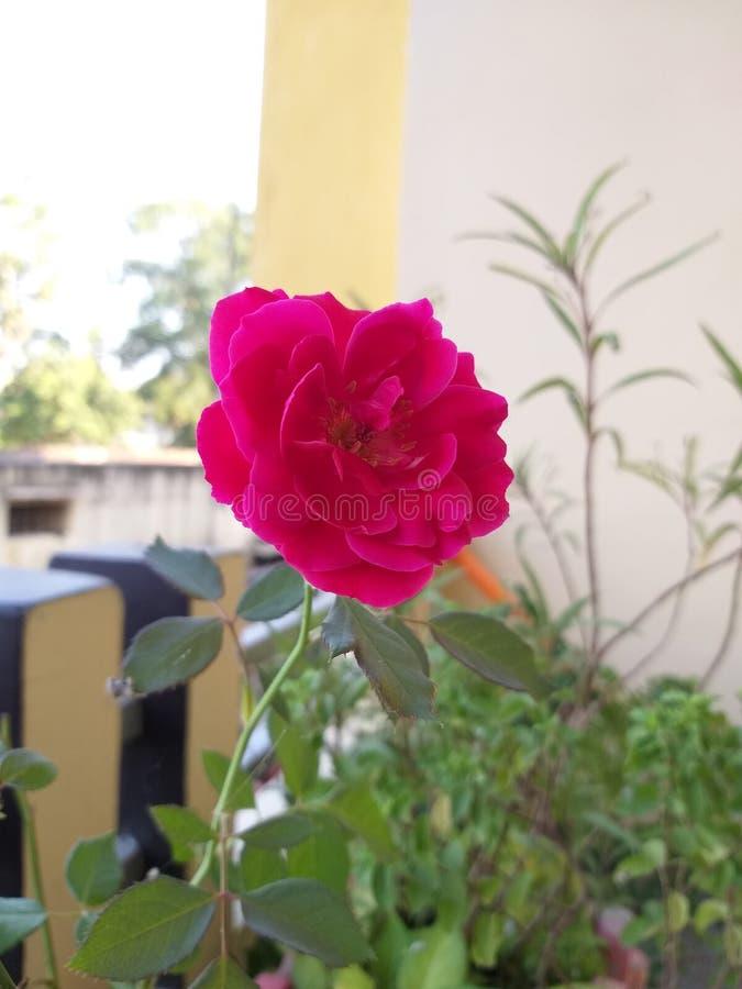 Piękno miłość symbolu róży kwiat najlepiej zdjęcie royalty free