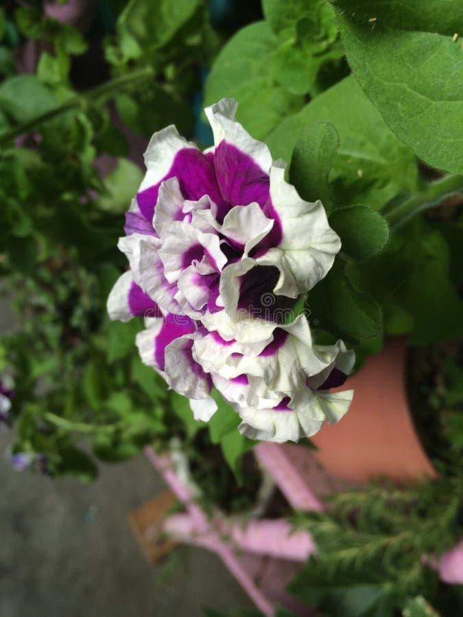 Piękno petunia fotografia stock
