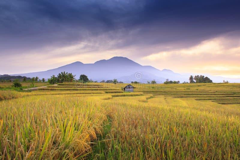 Piękno porannego słońca w żółtych ryżowych łopatkach pod niebieskimi górami i pięknym letnim niebem w środku obraz stock