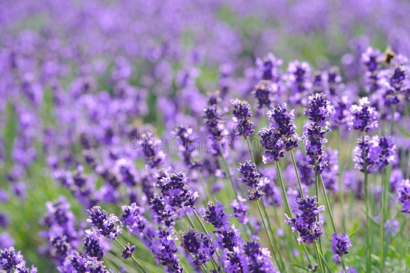 Piękno purpurowa lawenda odpowiada tło obrazy stock