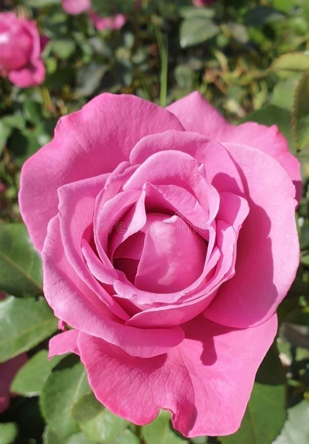Piękno róże w naturze obrazy stock