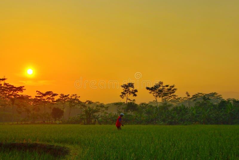 Piękno wschód słońca w ryżowych polach obraz royalty free