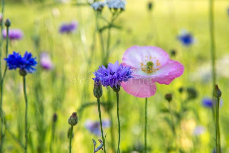 Piękny łąki pole z dzikimi kwiatami Wiosen Wildflowers zbliżenie tło zamazywał opieki pojęcia twarzy zdrowie maski pigułkę ochron zdjęcie stock