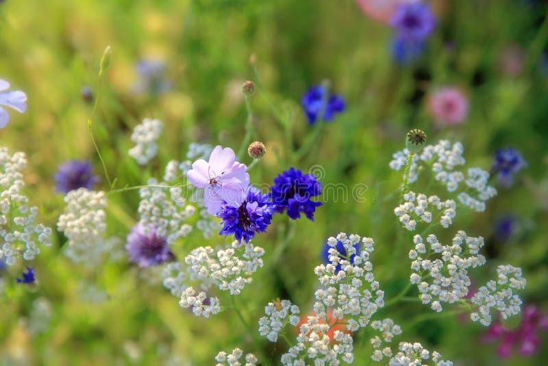 Piękny łąki pole z dzikimi kwiatami Wiosen Wildflowers zbliżenie tło zamazywał opieki pojęcia twarzy zdrowie maski pigułkę ochron fotografia royalty free
