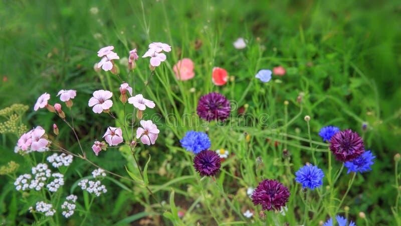 Piękny łąki pole z dzikimi kwiatami Wiosna lub lat wildflowers zbliżenie tło zamazywał opieki pojęcia twarzy zdrowie maski pigułk zdjęcia stock