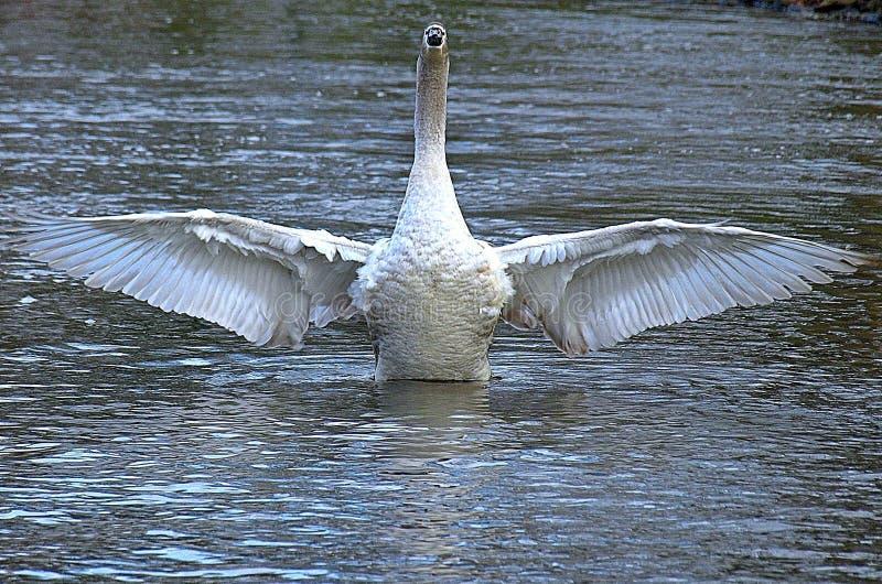 Piękny łabędź z rozłożonymi skrzydłami fotografia stock