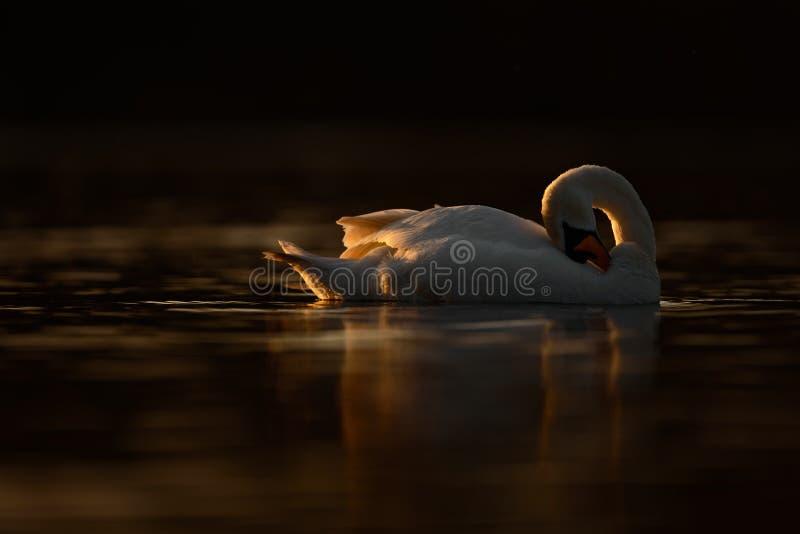 Piękny Łabędzi Preening przy zmierzchem fotografia royalty free