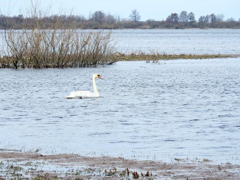 Piękny łabędzi unosić się na wodzie w powodzi polu, Lithuania obrazy stock