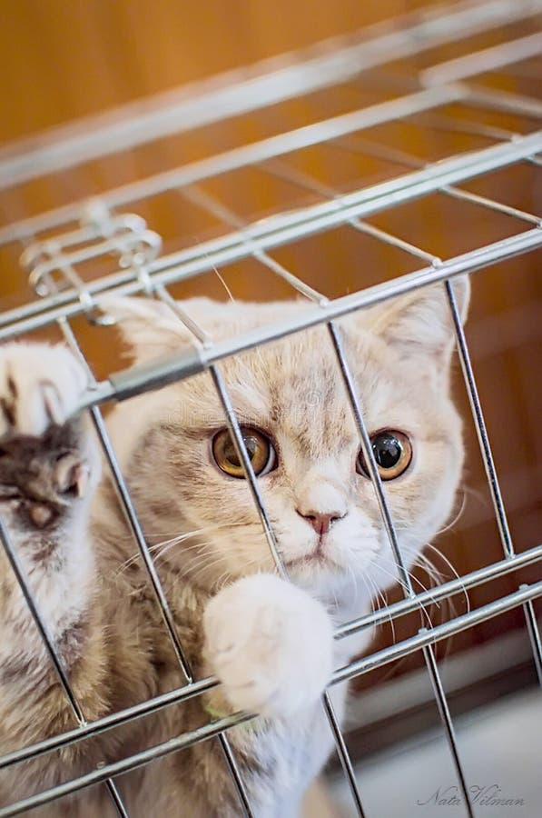 Piękny śliczny Brytyjski trakenu kot siedzi w klatce Zakończenie obrazy royalty free