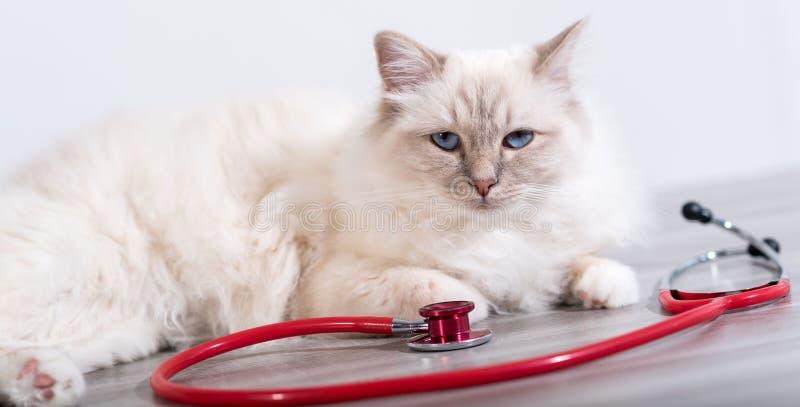 Piękny święty kot Burma z stetoskopem zdjęcia stock