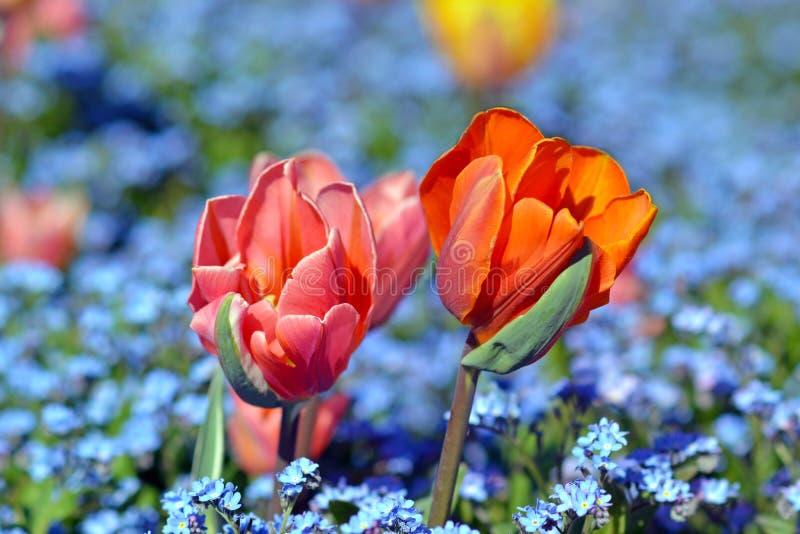 Piękny światło - menchii i pomarańcze tulipanu kwiaty w polu błękitna wiosna kwitną na rozmytym tle obrazy royalty free